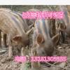 常年出售野猪苗 野猪苗价格 低价出售野猪 哪里出售野猪