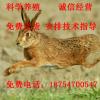 杂交野兔兔种 杂交野兔养殖 杂交野兔价格 野兔种兔多少钱一只
