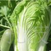 厂家推荐 北京新三号大白菜 量大从优 山东白菜 新鲜
