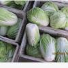 黄心白菜种植 黄心小白菜出售 小颗白菜玲珑黄012