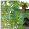 香水薄荷留兰香薄荷多年生香草花卉猫薄荷 发芽率高