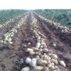 山东荷兰十五土豆马铃薯代收代购,基地供应