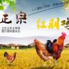 半坡农家特产 正宗散养山地红羽鸡 农家正宗红羽鸡