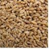 原阳县种植销售小麦