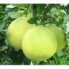 新鲜水果 沙田柚 梅州金柚 柚子 超甜的农家柚 无公害水果