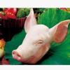 厂家直销 供应优质 新鲜 干净 猪头 冷冻生猪头批发