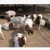 波尔山羊放养效益更高 波尔山羊羊苗价格 波尔山羊多少钱一只