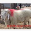 小尾寒羊多少钱一只 河南小尾寒羊种羊价格 小尾寒羊母羊价格