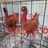 云南玉溪鸽子出售 精品元宝鸽 观赏鸽 蛇头鸽 大鼻子鸽 淑女鸽