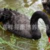 出售黑天鹅 南方黑天鹅价格 批发成年观赏黑天鹅 天鹅苗 手续齐全