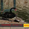 宁波黑天鹅出售价格 农庄观赏黑天鹅养殖 黑天鹅苗价格出售观赏鸭