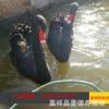 什么地方有卖黑天鹅的 出售黑天鹅 下蛋黑天鹅价格 黑天鹅苗养殖