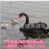 黑天鹅苗 优质活体黑天鹅出售 黑天鹅养殖场 供应生态园观赏动物