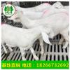 二胎奶羊产羔奶羊奶山羊价格孩子喝羊奶买奶羊卖奶羊配种的奶山羊