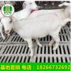 萨能奶山羊3个月奶羊买奶羊5个月奶羊养殖奶羊奶山羊价格二胎奶羊