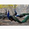 长期供应蓝孔雀,价格优惠