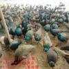 孔雀苗 优质白孔雀苗 特价绿孔雀苗 观赏孔雀 特色禽苗 孔雀蛋