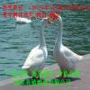 鹅苗 大白鹅苗 湖南土鹅苗 活体批发优质各种白鹅苗专用种苗包邮