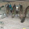 哪里有卖开屏孔雀的5年大尾巴多少钱一只孔雀苗的价格行情好养吗
