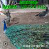 活体孔雀哪有卖的孔雀今天的孔雀价格出售成年白蓝花孔雀哪里便宜