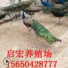 两年的孔雀怎么能养好观赏孔雀多少钱一只出售大小孔雀