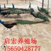 厂家出售蓝孔雀白孔雀观赏孔雀价格哪里有商品孔雀手续怎么办