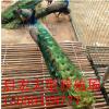 成年的孔雀附近有卖的吗 孔雀养殖 场孔雀苗活体出售价格成活率高