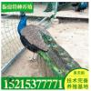孔雀养殖场孔雀价格 本公司常年出售人工养殖孔雀