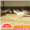 大型养殖场出售脱温蓝孔雀白孔雀苗成活率高价格低 观赏绿孔雀
