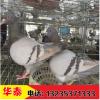 长期供应肉鸽种鸽、买白羽王种鸽多少钱一对