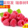 新鲜野生树莓鲜果大量批发 现采现摘瑞泰野生浆果粉红树莓水果