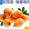现采现摘当季新鲜水果枇杷批发 白沙大枇杷顺丰一件代发琵琶果