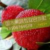 仙居杨梅 供应一级东魁杨梅 仙居杨梅大又甜 新鲜水果