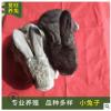 小兔子养殖场大量出售活体肉兔 种兔价格 提供养殖技术 专业养殖