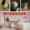 兔子活体宠物兔宝宝迷你兔子公主兔熊猫兔小白兔小黑兔肉兔包邮
