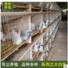 新西兰大白兔养殖场大量出售活体肉兔 新西兰大白兔价格 提供养殖