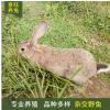 养殖场大量出售 杂交野兔种兔活体 比利时野兔 肉兔 活体