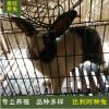 比利时种兔养殖场大量出售活体肉兔 比利时种兔价格 提供养殖技术