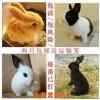 小白兔公主兔熊猫兔子肉兔黑兔灰兔活体 量多可议价