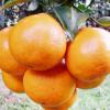 青见柑橘新鲜水果5斤8斤批发 果园现摘包邮橙子绿色食品一件代发