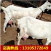 1-2岁的奶山羊多少钱一只 纯种萨能奶山羊 关中奶山羊羔价格