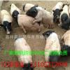巴马香猪种猪养殖场 小香猪养殖前景 成活率高 纯生态养殖香猪