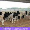 山东名品黑头杜泊绵羊 活体小尾寒羊 购买纯种杜泊绵羊羊羔价格