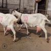 纯种萨能奶山羊一只羊一天能产多少羊奶 纯种萨能奶山羊母羊价格