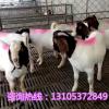 大量出售波尔山羊养殖场 供应波尔山羊羔种羊波尔山羊市场价格y