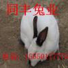 满洲里兔子养殖回收免费传授养殖技术免费送货到家