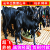 黑山羊养殖 黑山羊饲养管 黑山羊价格 黑山羊羊羔多少钱一只