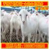 纯种白山羊养殖场 白山羊羊苗多少钱 大量出售黑白山羊 山羊效益