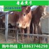 小牛犊 西门塔尔牛肉牛养殖基地 小牛犊什么价格 牛场低价出售