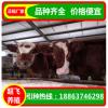 出售活牛 三元杂交牛 种牛价格 西门塔尔 2017年肉牛的价格